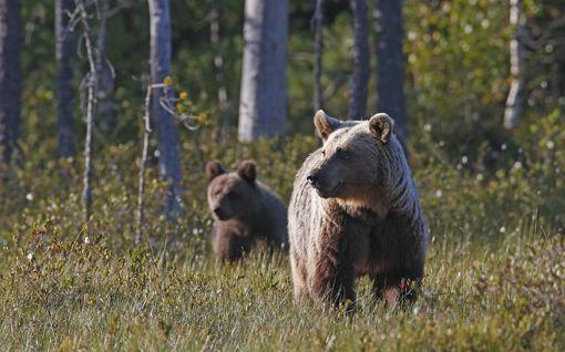 Karhunpennun ampuneelle ehdollista vankeutta