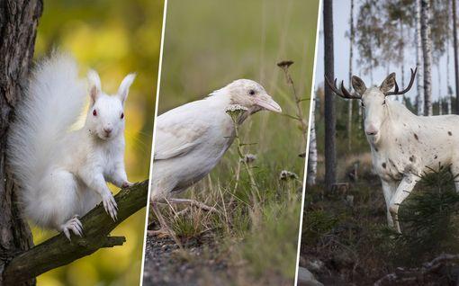 Luonnossa elää valkoisia eläimiä, jotka eivät tiedä olevansa erilaisia – tällaisia kuvia Esko on niistä ottanut