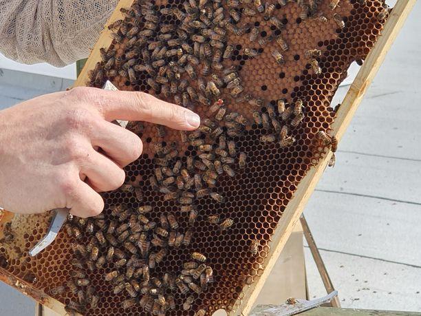 Kuningatar johtaa muita mehiläisiä.