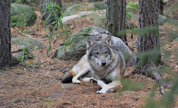 Susi uhkasi jopa koiranpennun henkeä. Kuvan susi ei liity tapaukseen.