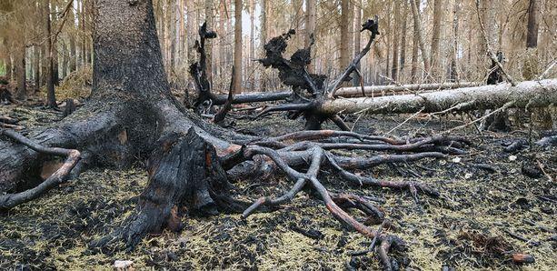 Paloalueen koko on kymmeniä hehtaareja. Alueella ei voi liikkua vieläkään turvallisesti, sillä liekit ovat vaurioittaneet pystyssäkin olevien puiden runkoja niin pahasti, että ne voivat kaatua päälle.