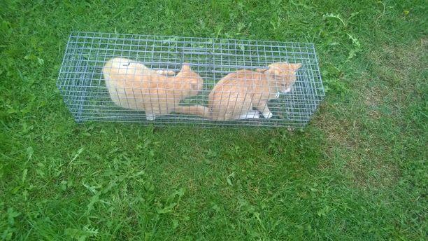 Kissojen kuntouttamiseen nähdään vaivaa, mutta aina se ei auta. Näitä kahta villiintynyttä kissaa hoidettiin pitkään, mutta ne eivät siitä huolimatta tottuneet ihmisiin. Lopetus jäi ainoaksi vaihtoehdoksi.