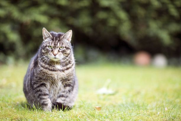 Ruotsissa etsitään ratkaisua kissojen kodittomuuteen kissa-ajokortin avulla. Kuvituskuva.
