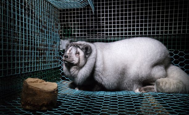 """Yhdistyksen ja eläinsuojelujärjestö Animalian mukaan materiaali on todiste turkiseläinten ylijalostuksesta, joka rikkoo eläinsuojelulakia. Animalia jopa vertaa videomateriaalia 1980-luvun kohuun ylisuurista """"superketuista""""."""
