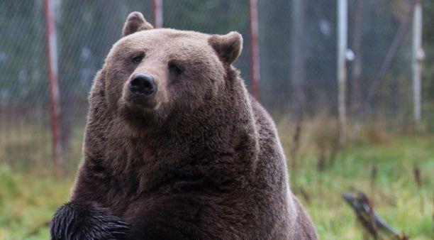Karhu voi taajama-alueelle eksyessään aiheuttaa vaaratilanteita. Kuvan karhu tosin majailee Kuusamon suurpetokeskuksessa.