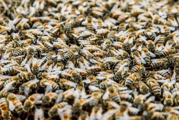 Seinän takaa löytyi valtava mehiläisyhdyskunta. (Kuvituskuva)