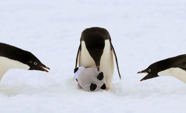 Pingviinit ovat luonnostaan uteliaita eläimiä, kuten suosittu videokin todistaa.