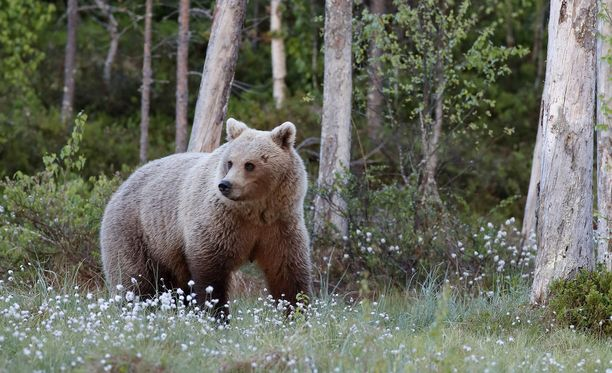 Kuvan karhu ei liity tapaukseen.