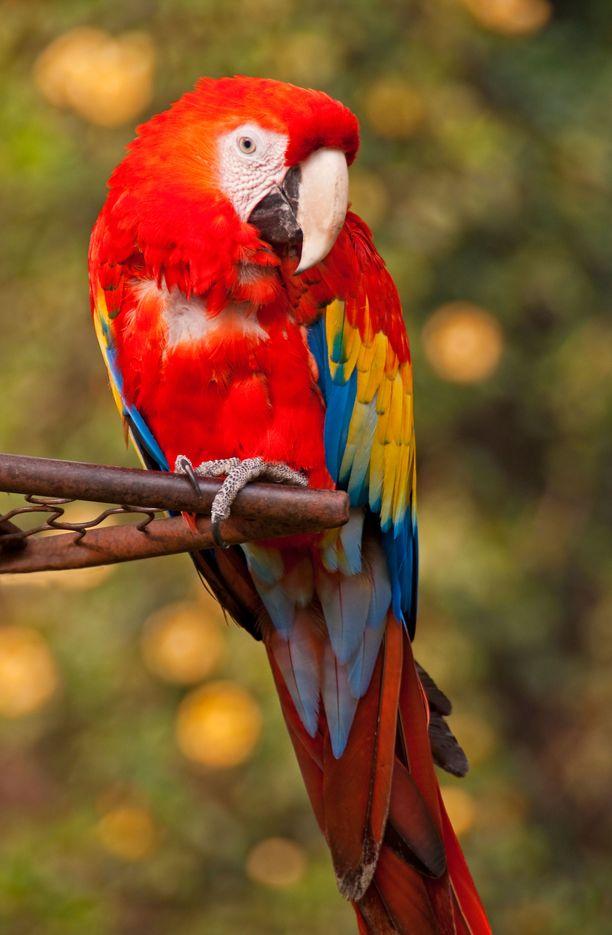Monet papukaijat osaavat matkia taitavasti erilaisia ääniä.