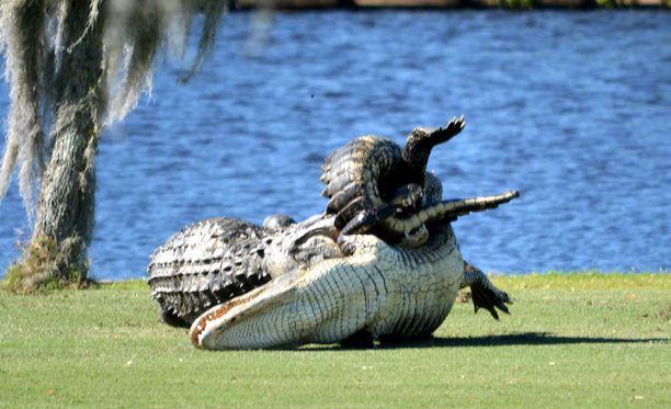 Kaksi alligaattoria tappeli keskenään golfkentällä Floridassa 2015. Kuvituskuva.