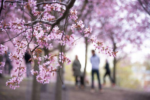 Asiantuntijaryhmän jäsenen, dosentti Pirta Hotulaisen mukaan Suomessa onnistuttiin epidemian tukahduttamisessa erittäin hyvin keväällä. Kuvituskuva Helsingin Roihuvuoren kirsikkapuistosta.