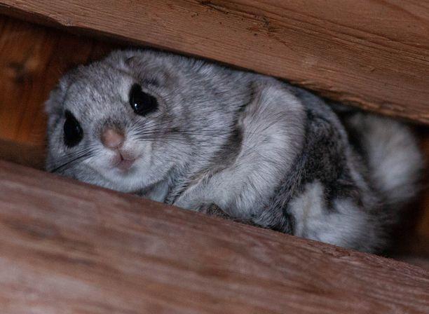Vihtiläinen Arto Nurmi ikuisti liito-oravan kesäpaikallaan Alajärvellä puolisentoista viikkoa sitten.