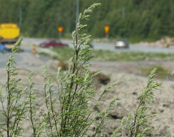 Pujon haittoja voi pienentää kitkemällä kasvit pois kotipihalta ennen kukintaa.