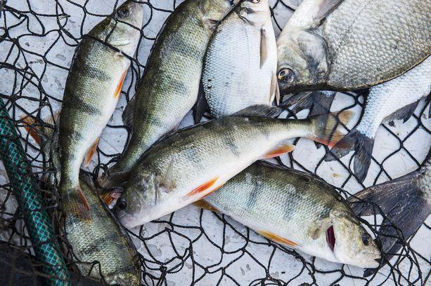 Kylmä sää on verottanut kalansaalista Suomessa. Kuvituskuva