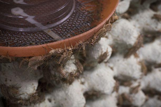 Sirkkoja on saanut marraskuun lakimuutoksen jälkeen kasvattaa elintarvikkeiksi Suomessa.