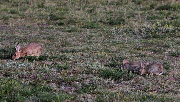 Kanit lisääntyvät tunnetusti vikkelästi, joskin kannat saattavat myös romahtaa nopeasti. Kuvassa ruotsalaisia villikaneja.