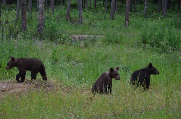 Karhunpoikaset ovat tänä vuonna syntyneitä.
