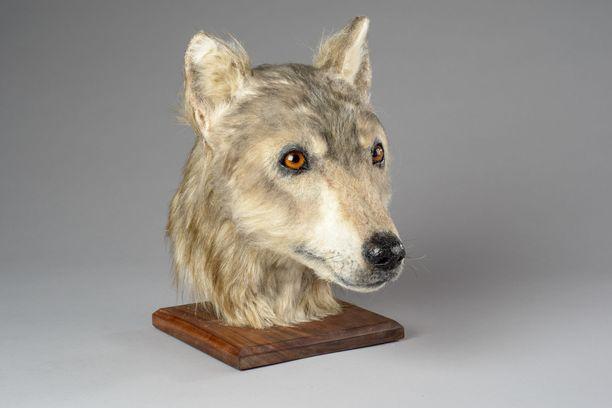 Koiran pääkallo löydettiin Skotlannin Orkneysaarilta, joka sijaitsee Iso-Britannian saaren pohjoispuolella.