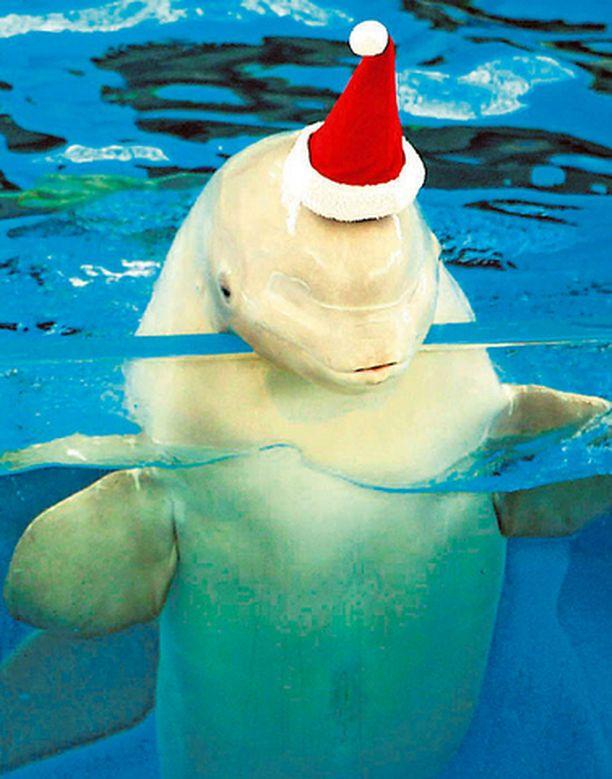MISSÄ LAHJAT? Jokohaman eläintarhassa pyöriskelevän pyöriäisen ajantaju osoittaa, että kyseessä on todella tyhmä luontokappale. Jouluun on vielä yli kuukausi aikaa, mutta elukka kerjää jo nyt lahjoja piippalakki päässä.